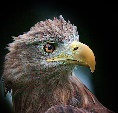 White Tailed Eagle, by Bob Jones