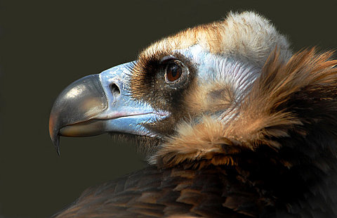 Eurasian Black Vulture, by Gerri Jones