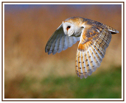 Barn Owl, by Tim Cossins