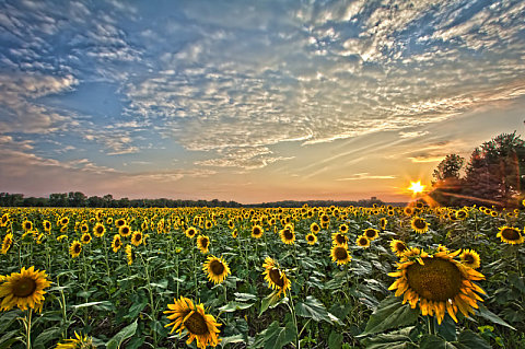 Sunflowers at Sunset, by Gudjon Gudjonsson