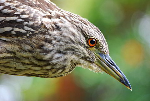 Immature Night-Heron<br>Nikon D80<!--1-->