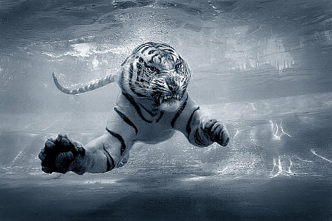 Tiger Shark, by Jeff Rayner