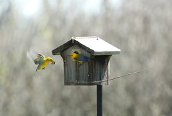 Prothonotary Warblers Setting Up Their House