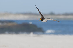 American Oystercatcher in turbulent air