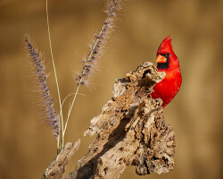 Northern Cardinal at the Golden Hour