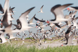 A sky full of skimmers