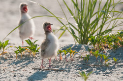 Tern chicks calling for food
