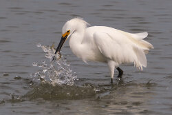 Snowy Egret Catches Fish