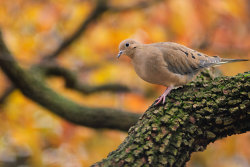 Mourning Dove in the fall