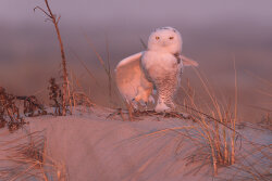 Snowy Owl at Sunset