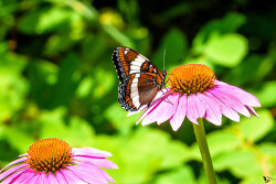 red Admiral Butterfly on a purple coneflower