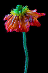Withered Poppy