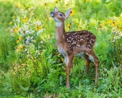 A Fawn in the Woods
