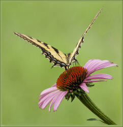 Butterfly and Echinacea