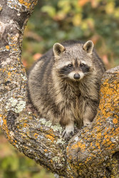 Chubby The Raccoon