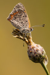 Copper-Beauty_5D_2085.jpg