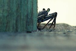 Crab on a dock