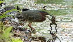Green Heron with Frog