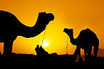Camels of Rajasthan, by Mukesh Srivastava