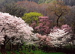 Trees in Spring, Dumbarton Oaks