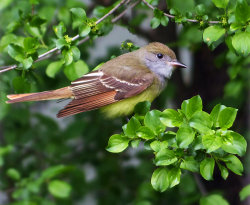 Great Crested Flycatcher.jpg