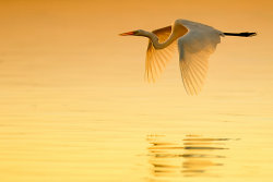 GreatEgret5040-2.jpg