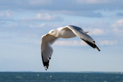Gull Over Lake Michigan