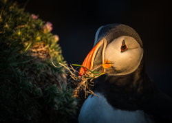 Puffin lit in the rays of a setting sun