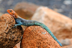 Just hanging out. Agana Lizard, Tsavo, Kenya.