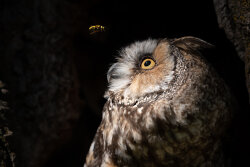 Long-eared Owl and wasp