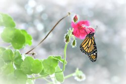 Monarch in the Mist
