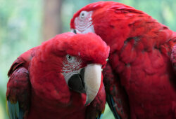 Green-Winged Macaws, Bloedel Conservatory Vancouver