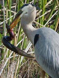 Great Blue Heron and a Great Big Eel