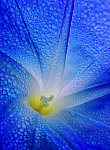 Morning Dew,Blue and  Glory.jpg