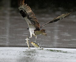 Osprey Catching Two Fish at Once