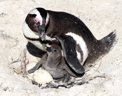 Penguin parenting