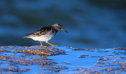 Purple Sandpiper in Early Morning Light
