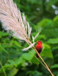 Red Avadavat with catkin.