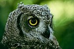 Spotted Eagle Owl.0917a.jpg