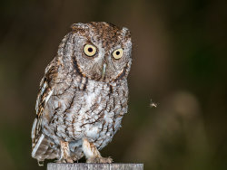 Screech Owl and Mosquito