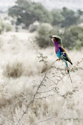 The Lilac Breasted Roller Sings