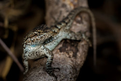Attentive fence lizard