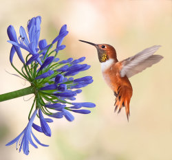 Rufous And Agapanthus