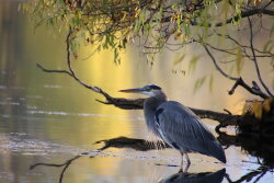 Fall Foliage Reflection and Blue Heron
