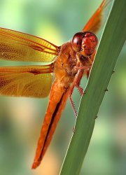 Big Red Skimmer