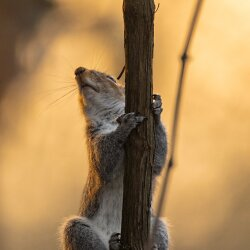 Climbing squirrel in the sunset