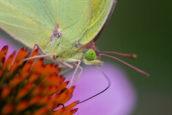 Orange Sulphur Butterfly Closeup