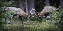 Fighting Elks