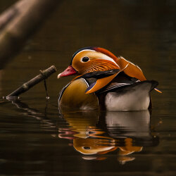 Mandarin Duck floating in the shady spot