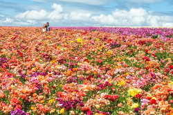 flower fields.jpg